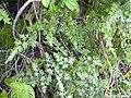 Starr 031118-0034 Lygodium japonicum.jpg