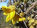 Starr 040214-0076 Sophora chrysophylla.jpg