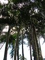 Starr 050107-2885 Chrysalidocarpus lutescens.jpg