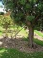 Starr 050719-2906 Banksia integrifolia.jpg