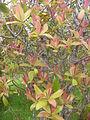 Starr 060325-9047 Myrsine lessertiana.jpg