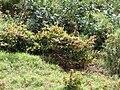 Starr 070321-6022 Flemingia strobilifera.jpg