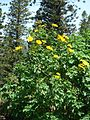Starr 070403-6479 Tithonia diversifolia.jpg