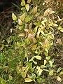 Starr 070621-7400 Asparagus asparagoides.jpg