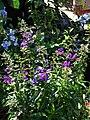 Starr 080103-1243 Angelonia angustifolia.jpg