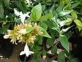 Starr 080117-1633 Abelia x grandiflora.jpg