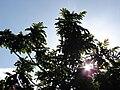 Starr 080501-4358 Rhus sandwicensis.jpg