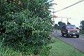 Starr 990106-3106 Cryptostegia sp..jpg