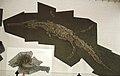 Steneosaurus bollensis.JPG