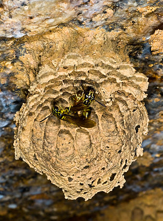 Liostenogaster flavolineata - Small colony with two females of L. flavolineata built under a rock (Pahang State,Peninsular Malaysia).