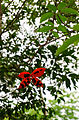 Sterculia lanceolata 1.jpg