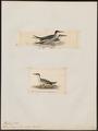 Sterna magnirostris - 1700-1880 - Print - Iconographia Zoologica - Special Collections University of Amsterdam - UBA01 IZ17900348.tif
