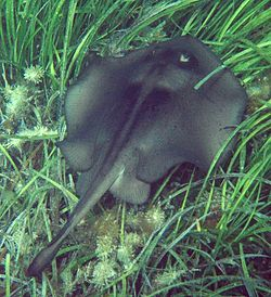 Stingaree in seagrass.jpg