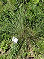 Stipa gigantea - Botanical Garden, University of Frankfurt - DSC02673.JPG