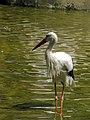 Stork لک لک 04.jpg