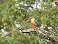 Stork billed kingfisher-kannur-kattampally - 3.jpg