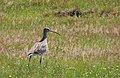 Storspov Eurasian Curlew (14334234549).jpg