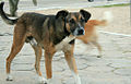 Street Dog Pelotas.jpg