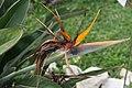 Strelitzia reginae 31zz.jpg