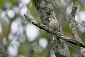Striated Yuhina Mahananda Wildlife Sanctuary Darjeeling West Bengal India 09.05.2016.jpg