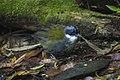 Stripe-headed Brush-Finch - Colombia S4E1795 (23023941159).jpg