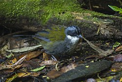 Stripe-headed Brush-Finch - Colombia S4E1795 (23023941159).jpg