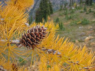 Larix lyallii - Fall foliage and cone