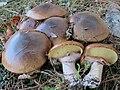 Suillus luteus 475376.jpg