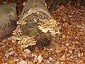 Sulphur Tuft fungus in Burnham Beeches - geograph.org.uk - 278636.jpg