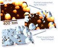 Supported Lipid Bilayer and Nanoparticles AFM.png