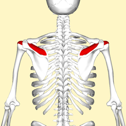Supraspinatus muscle back4.png