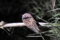 Swallow-tailed Nightjar (5277616287).jpg