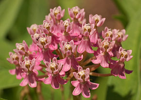 Description de l'image Swamp Milkweed Asclepias incarnata Flowers Closeup 2800px.jpg.