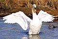Swan - Richmond Park (6937594039).jpg