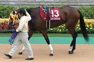 Girth (tack) - A black overgirth or surcingle is on this horse, wrapping over the saddle.