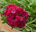 Sweet William-Dianthus barbatus (4).JPG