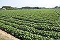 Sweet potato field in Namegata, Ibaraki 06.jpg