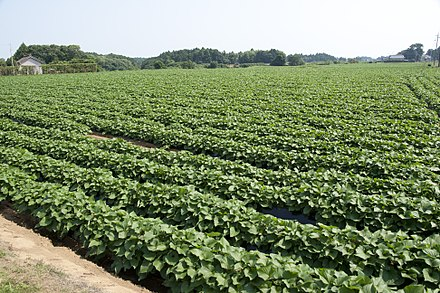 Sweet potato field Sweet potato field in Namegata, Ibaraki 06.jpg
