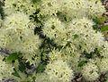 Syzygium anisatum flowers 1259.jpg