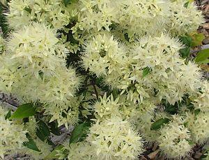 Syzygium anisatum - Flowers