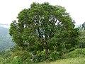 Syzygium cumini tree Coonoor.jpg