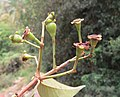 Syzygium hemisphericum 02.jpg