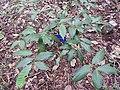 Syzygium megacarpum-2-JNTBGRI-kerala-India.jpg
