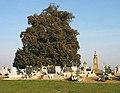 Szőkedencs 700 éves hársfa.jpg