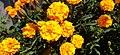 Tagetes-Marigold-Flower 07.jpg