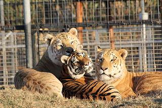 Tiliger hybrid offspring of a male tiger and a ligress