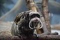 Tamarin Monkey.jpg