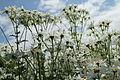 Tanacetum corymbosum-IMG 3568.jpg