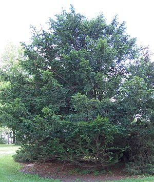 Taxus chinensis - Morton Arboretum Acc. 1378-56-2