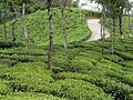 Tea Gardens outside Darjeeling - panoramio.jpg